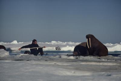 Chukchi Sea, Arctic Ocean. A researcher stretches to attach a tracking device to a walrus.