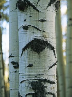 Detail of a Tree Trunk with Face-Like Features by Bill Curtsinger