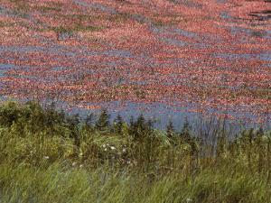 Floating Cranberries Turn a Bog Pinkish Red by Bill Curtsinger