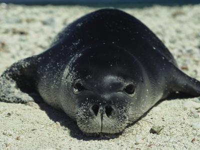 Hawaiian Monk Seal by Bill Curtsinger
