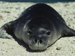Hawaiian Monk Seal by Bill Curtsinger