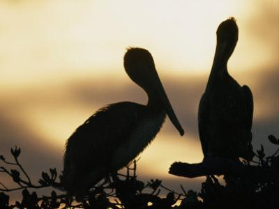 Pelicans Silhouetted at Sunset by Bill Curtsinger