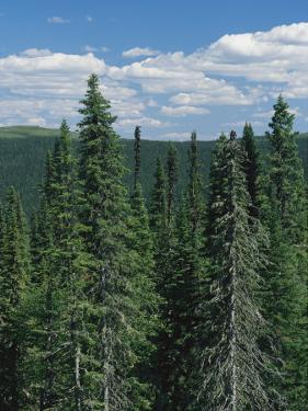 Tall Evergreen Forest in Mountains under a Sky with Puffy Clouds by Bill Curtsinger