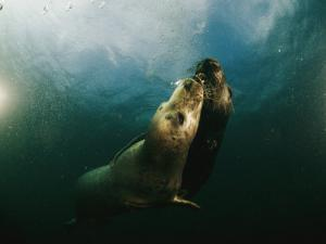 Two Seals Playing Together Underwater by Bill Curtsinger