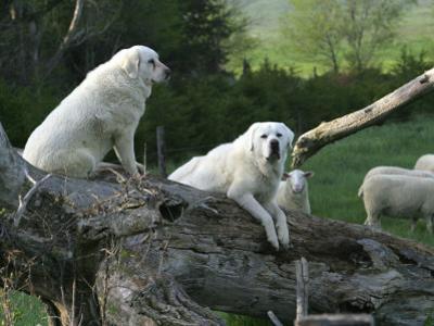 Nebraska, Anselmo, the Vigilance of Akbash Guard Dogs Is Legendary: Often, Females Refuse to Leave by Bill Ganzel