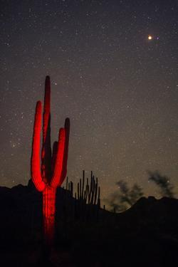 A Night Photo of a Saguaro in Organ Pipe National Monument in the Ajo Mountains, Arizona by Bill Hatcher