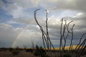 A Rainbow at Sunset and Ocotillo Plants in Big Bend National Park by Bill Hatcher