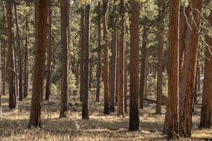 A Stand of Ponderosa Pines, Pinus Ponderosa, on the Powell Plateau in Grand Canyon National Park by Bill Hatcher