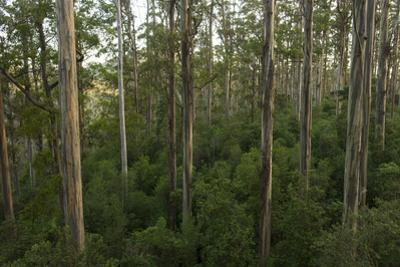 A Stand of Uniform Blue Gum, Eucalyptus Globulus, Trees and Understory in Wielangta State Forest by Bill Hatcher