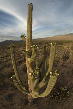 Flowering Saguaro Cactus in the Foothills of the Rincon Mountains, Saguaro National Park by Bill Hatcher
