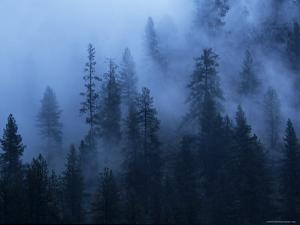 Fog Drifts Through Pine Trees above the Salmon River by Bill Hatcher