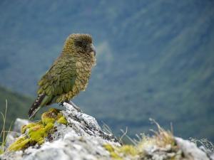 Kea, the Only Alpine Parrot on Mount Fox by Bill Hatcher