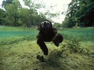 Pygmy Sloth Swimming in Coastal Panama Waters by Bill Hatcher