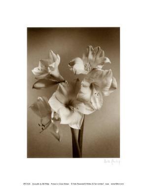 Amaryllis by Bill Philip