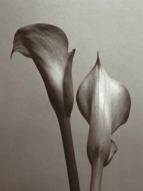 Lily I by Bill Philip
