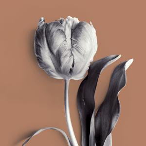 Tulipano Almond by Bill Philip