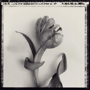 Tulipano Bontanica I by Bill Philip