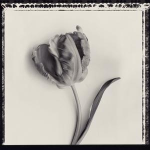 Tulipano Bontanica III by Bill Philip