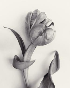 Tulipano Botanica Curve by Bill Philip