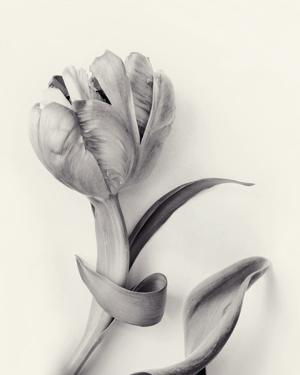 Tulipano Botanica Embrace by Bill Philip