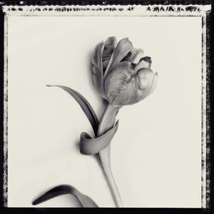Tulipano Botanica IV by Bill Philip