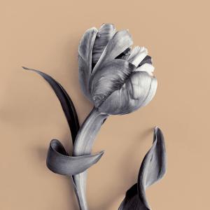 Tulipano Cantaloupe by Bill Philip