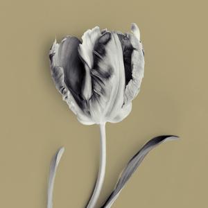 Tulipano Olive by Bill Philip