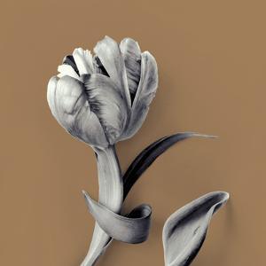 Tulipano Pecan by Bill Philip
