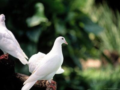 Doves by Bill Romerhaus