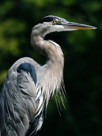 Great Blue Heron by Bill Swindaman