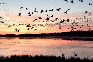 Snow Geese Flying at Dusk by Bill Swindaman