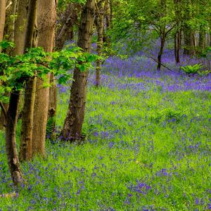 Bluebells, High Littleton Woods, Somerset, England, United Kingdom, Europe by Bill Ward