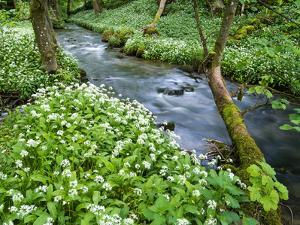 Wild Garlic, on the Way to Janet's Foss, Malham, Yorkshire Dales National Park, Yorkshire, England by Bill Ward
