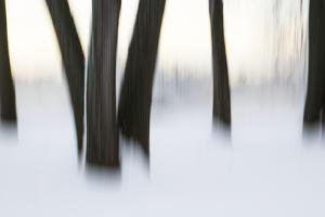 Canada, Ottawa, Ottawa River. Abstract of Tree Trunks in Snow by Bill Young