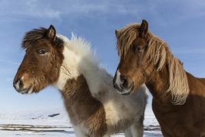 Icelandic horses, Iceland. by Bill Young