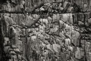 Norway, Svalbard Archipelago. Bird Colony on Cliff by Bill Young