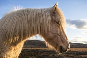 Portrait of Icelandic horse, Iceland. by Bill Young