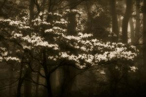 USA, Virginia, Shenandoah NP. Dogwood Blossoms in the Mist by Bill Young
