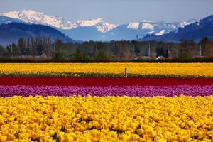 Yellow Red Purple Tulips Flowers Snow Mountains Skagit Valley Washington State by BILLPERRY