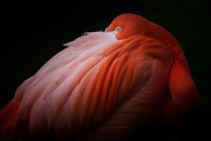 Pink Flamingo by Billy Currie Photography