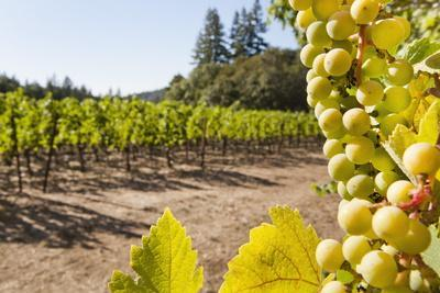 Close-Up of Grapes in a Vineyard, Napa Valley, California, United States of America, North America