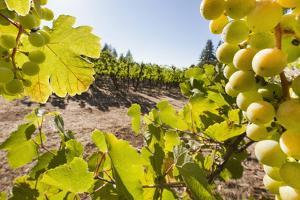 Close-Up of Grapes in a Vineyard, Napa Valley, California, United States of America, North America by Billy Hustace