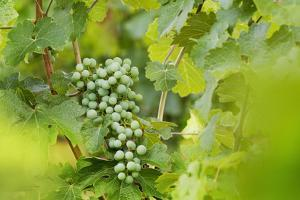 Green Grapes Hanging on a Vine in Summer by Billy Hustace