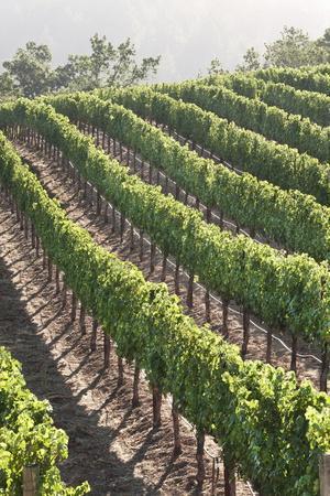 Rows of Lush Vineyards