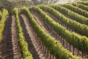 Rows of Lush Vineyards by Billy Hustace
