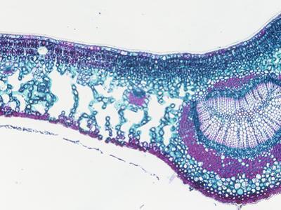 Cross-Section of an English Holly Leaf (Ilex), LM X20
