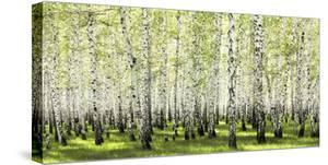 Birch forest in spring