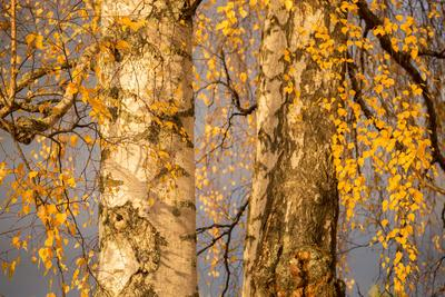 https://imgc.allpostersimages.com/img/posters/birch-tree-trunks-and-branches-with-yellow-leaves-blue-gray-sky-on-background_u-L-Q1EZT350.jpg?artPerspective=n