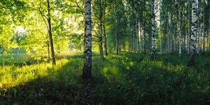 Birch trees by the Saimaa Canal, Lappeenranta, Finland