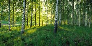 Birch trees by the Saimaa Canal, Lappeenranta, Finland